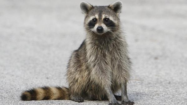 preview Raccoon