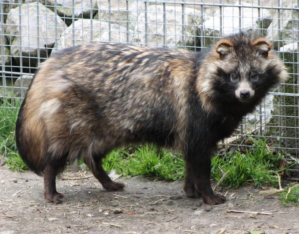 preview Raccoon Dog