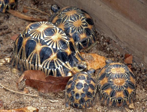 preview Radiated Tortoise