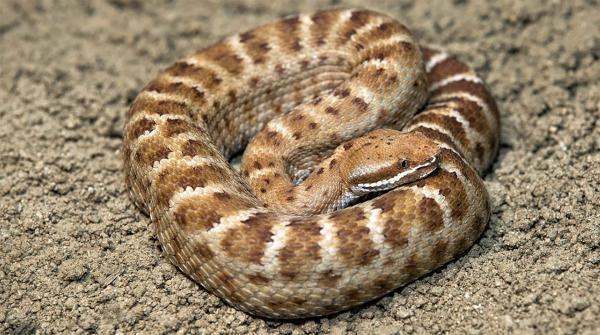 preview Rattlesnake