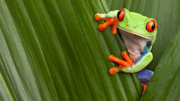 preview Red Eyed Tree Frog