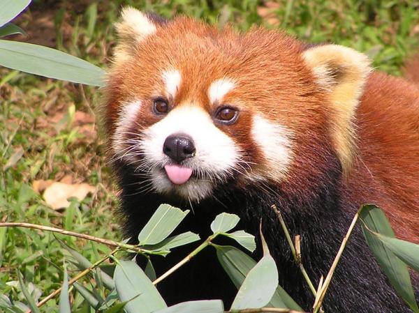 preview Red Panda