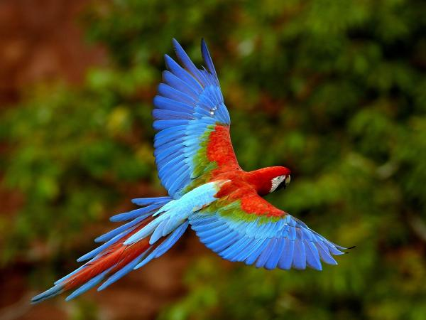 preview Red-and-green Macaw