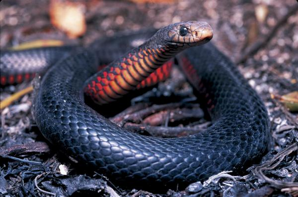 preview Red-bellied Black Snake