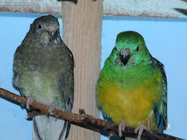 preview Red-rumped Parrot