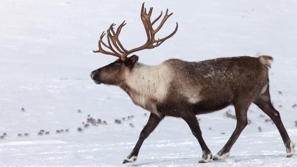 preview Reindeer