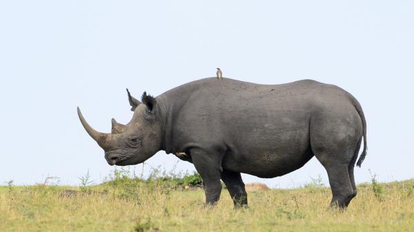 preview Rhino