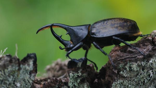 preview Rhinoceros Beetle