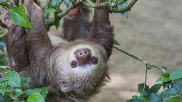 preview Sloth