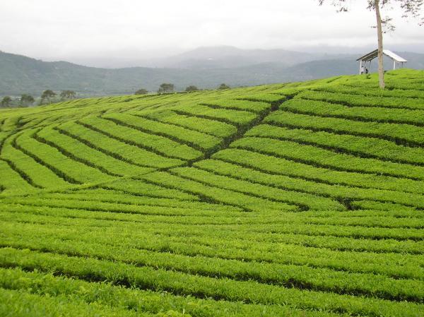 preview Tea Plantation