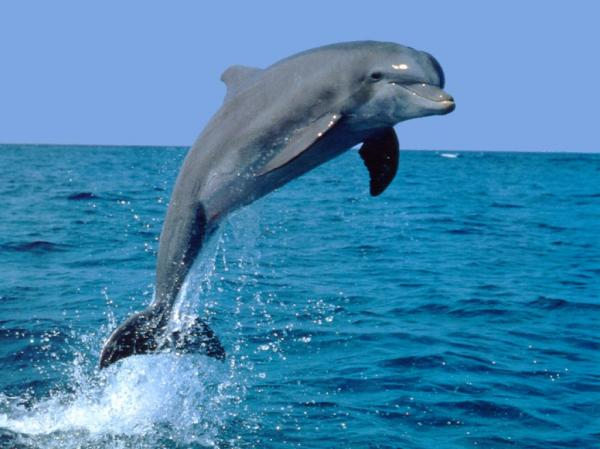 preview The Dolphin